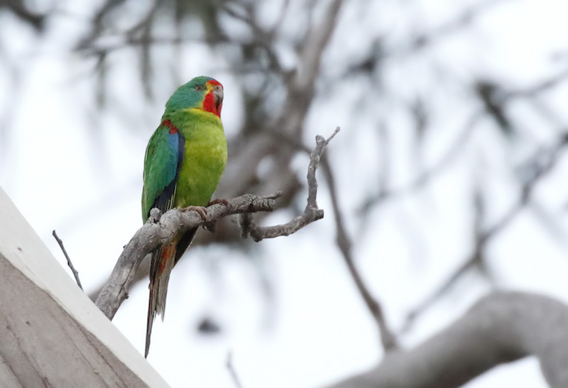 Signing Up For Extinction - Swift Parrot